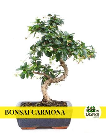 BONSAI CARMONA EN TENERIFE