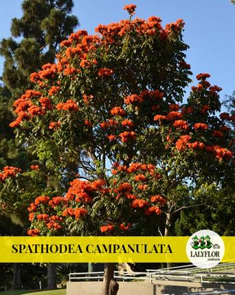 SPATHODEA CAMPANULATA EN TENERIFE