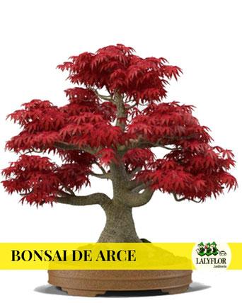BONSAI DE ARCE EN TENERIFE
