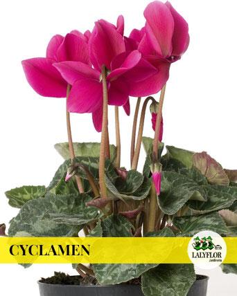 CYCLAMEN EN TENERIFE