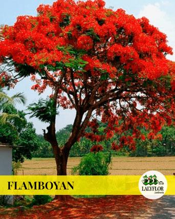 FLAMBOYAN EN TENERIFE
