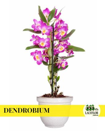 DENDROBIUM EN TENERIFE
