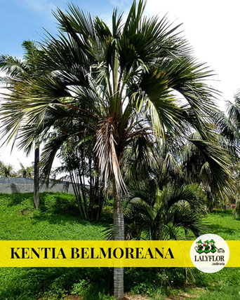 KENTIA BELMOREANA EN TENERIFE
