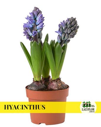 HYACINTHUS EN TENERIFE