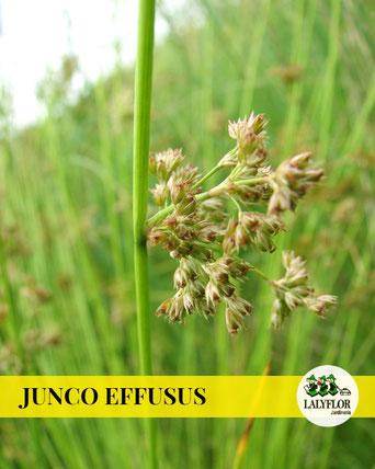 JUNCO EFFUSUS EN TENERIFE