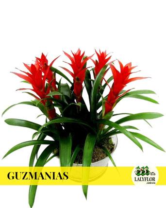 GUZMANIAS EN TENERIFE