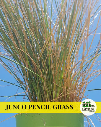 JUNCO PENCIL GRASS EN TENERIFE