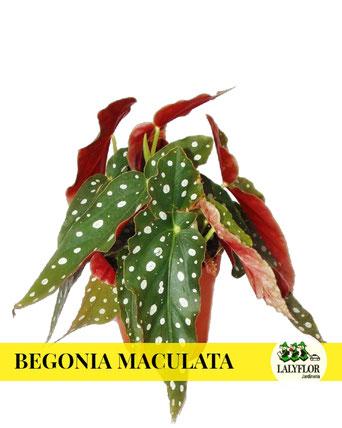 BEGONIA MACULATA EN TENERIFE