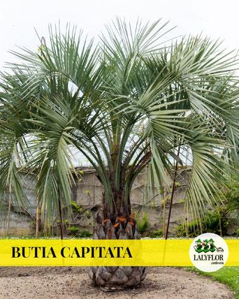 BUTIA CAPITATA EN TENERIFE