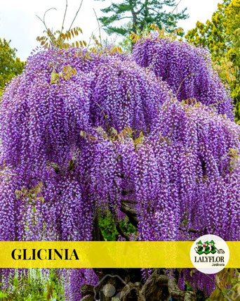 GLICINIA EN TENERIFE