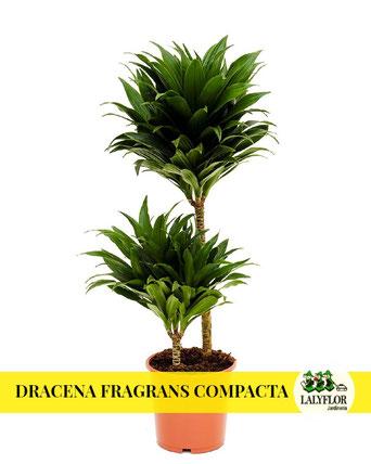 DRACENA FRAGRANS COMPACTA EN TENERIFE