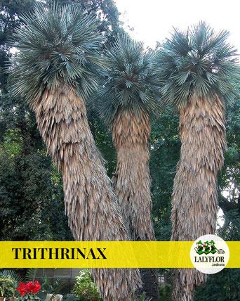 TRITHRINAX EN TENERIFE