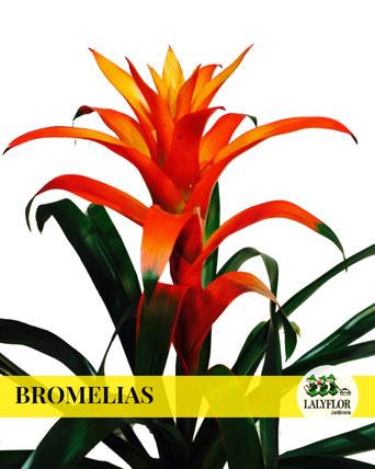 BROMELIAS EN TENERIFE