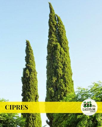 CIPRÉS EN TENERIFE