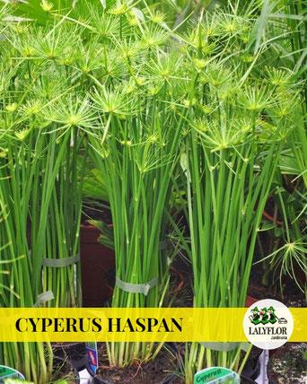 CYPERUS HASPAN EN TENERIFE