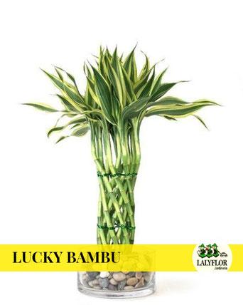 LUCKY BAMBOO / BAMBU DE LA SUERTE EN TENERIFE