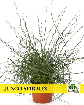 JUNCO SPIRALIS EN TENERIFE