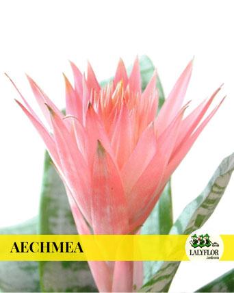 AECHMEA EN TENERIFE