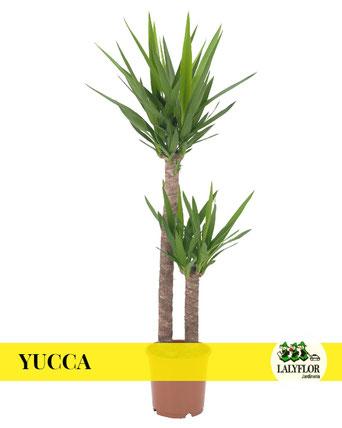 YUCCA EN TENERIFE