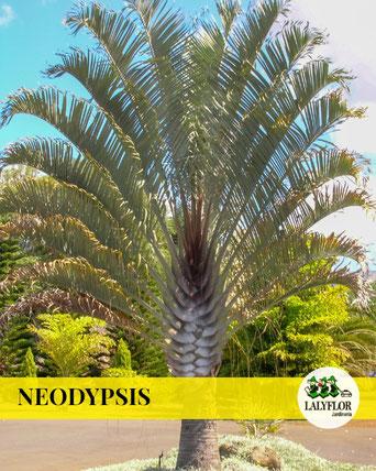 NEODYPSIS EN TENERIFE