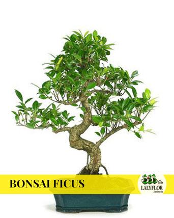 BONSAI FICUS EN TENERIFE
