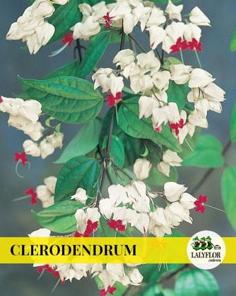CLERODENDRUM EN TENERIFE