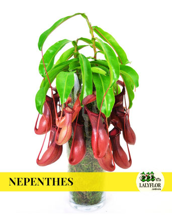 NEPENTHES EN TENERIFE