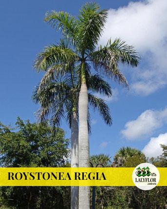 ROYSTONEA REGIA EN TENERIFE