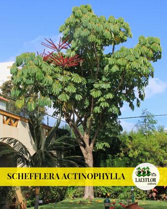 SCHEFFLERA ACTINOPHYLLA EN TENERIFE