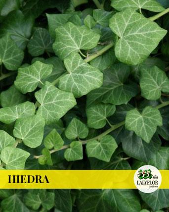 HIEDRA EN TENERIFE