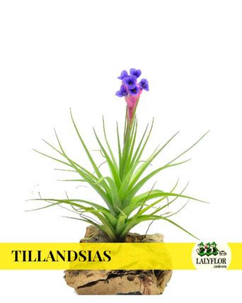 TILLANDSIAS EN TENERIFE