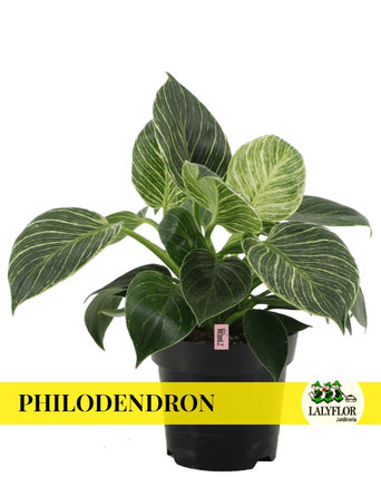 PHILODENDRON EN TENERIFE