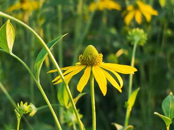 十勝のフィールドに夏をつげるハンゴウソウの花。村人たちはこのキク科の花を見て秋がそう遠くないことを知る。
