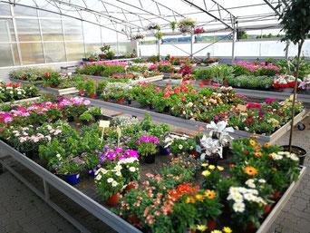 Gartenpflanzen Springhoe Manthey