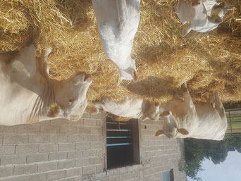 Kuh und Kälber relaxen im Außenlaufstall...bald schon beginnt für sie die Weidesaison