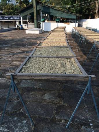 Trocknung des Rohkaffee (Dry-Beds)