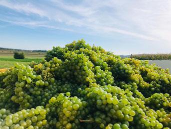 Weintrauben Gemischter Satz Weingut Sailer