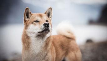 Shia inu Hund vort einem See fotografiert von der Hunde Fotografin Monkeyjolie