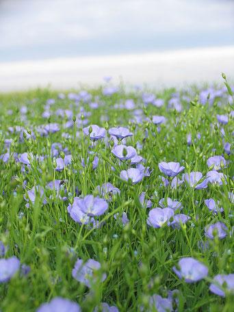 La culture du lin respecte l'environnement. Tout est utilisé dans la plante. La fleur ne vit que quelques heures. Le lin était très utilisé dans l'antique Egypte et dans la Bible.