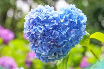 花の写真集:あじさい(別ページに移動します)