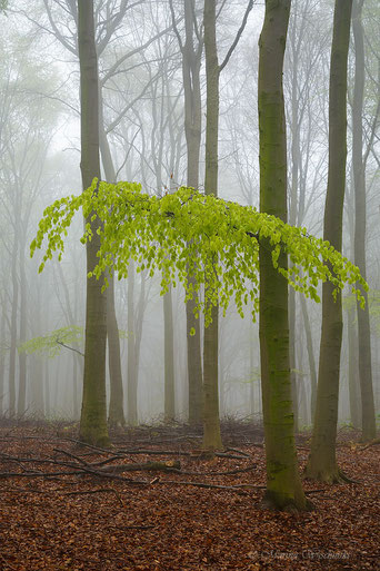 Frisches Buchenlaub im Nebel