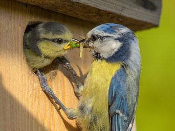 Eine Blaumeise füttert ihr Küken in einem Nistkasten mit Raupen (NABU / R. Priemer)