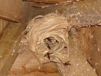 Nest der Europäischen Hornisse (NABU / K. Olexik)