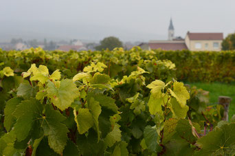 Vineyard in Bouzy