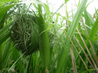 同じ場所で初夏に見つけ巣
