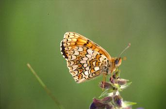 Flockenblumenscheckenfalter. Foto: Georg Knipfer