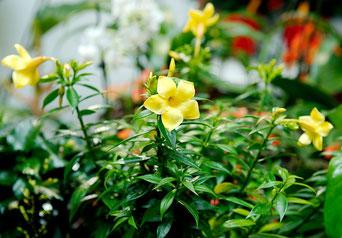 Allamanda Zimmerpflanzen Pflege