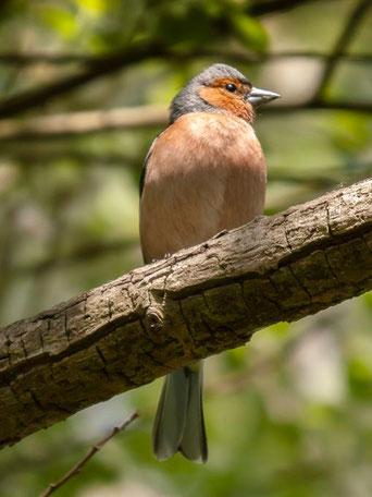 Buchfinken-Männchen auf einem Ast. - Foto: Kathy Büscher