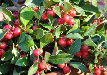 Huile essentielle de Gaulthérie odorante - Gaultheria fragrantissima