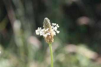 Les Plantes dans tous les sens-plantain lancéolé fleur